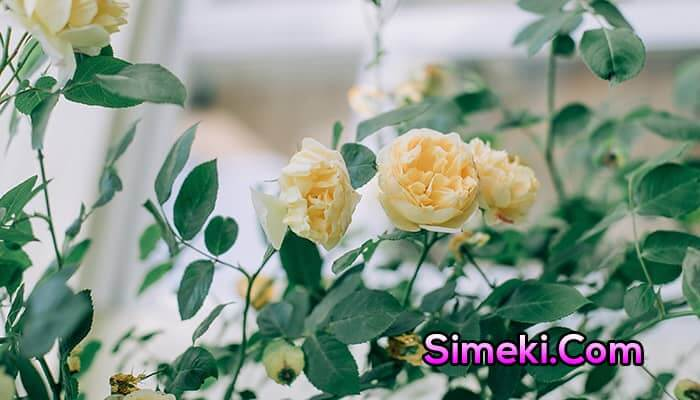 growing roses indoors with grow lights