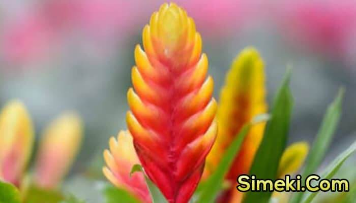 how to care for a vriesea plant