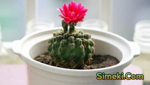 how to get a cactus to flower