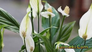 how to prune a peace lily plant