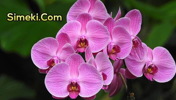 how to water phalaenopsis orchids indoors