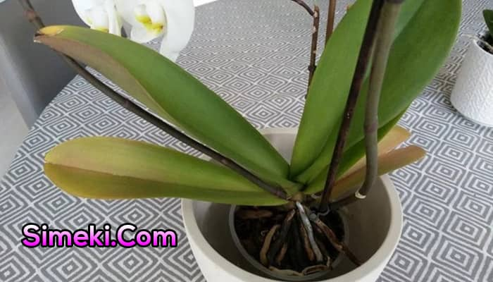 orchid leaves turning yellow and brown