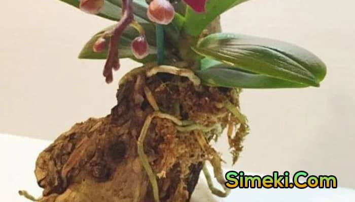 what to do with orchid air roots